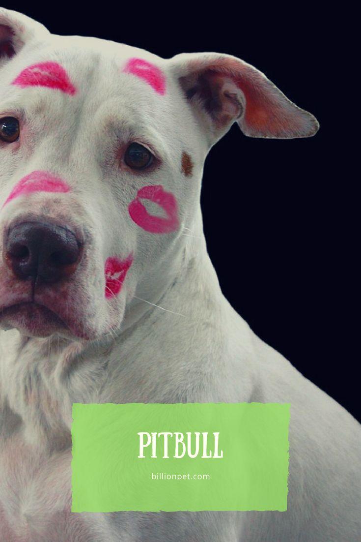 pitbull #pitbull  #pitbulllove
