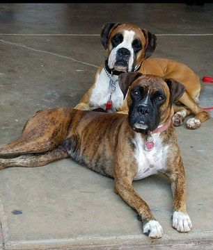 Litter Of 7 Boxer Puppies For Sale In Greenville Sc Adn 58902 On