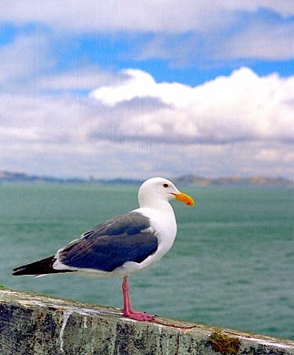 Sea Gull...idea for a foot tat