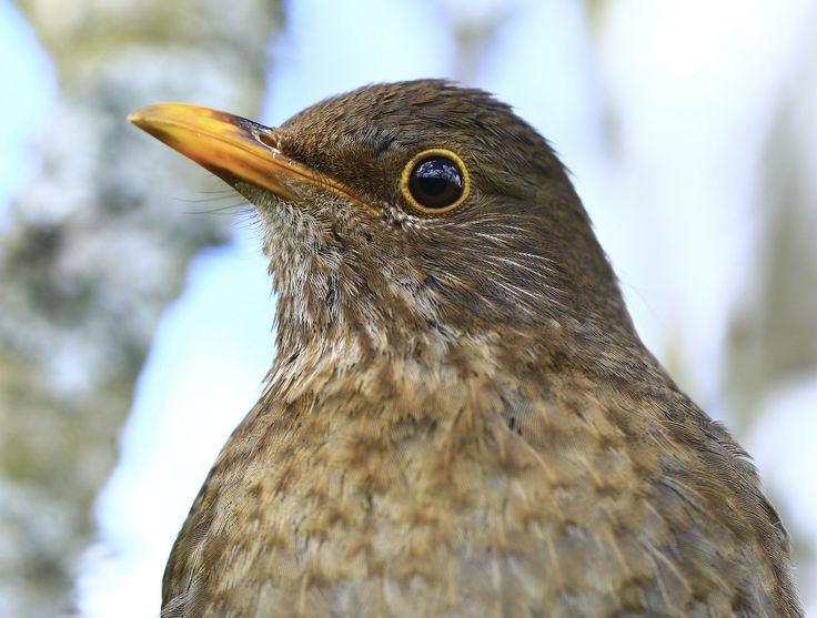 Female blackbird   by EmyJSkylark