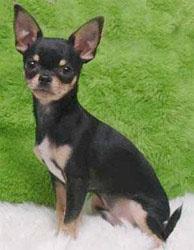 Chihuahua, that's my ram ram