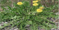 """Seu nome científico é Taraxacum officinale.Mas a maioria a conhece por """"dente-de-leão"""".O dente-de-leão é uma planta muito poderosa."""