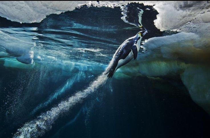 Emperor Penguins - Paul Nicklen