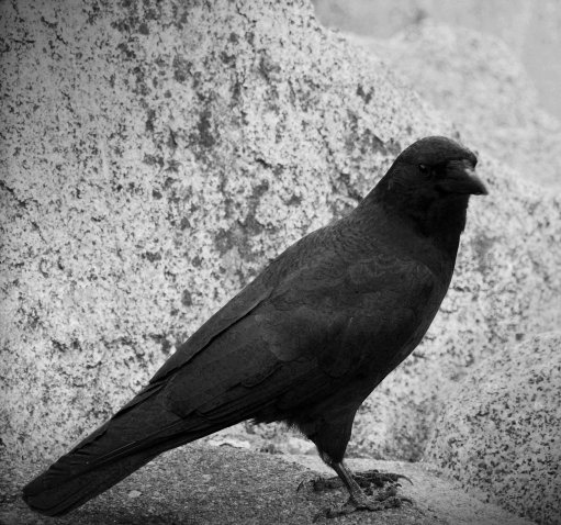crow 8x8 fine art photography black black and white raven halloween - Halloween Crows
