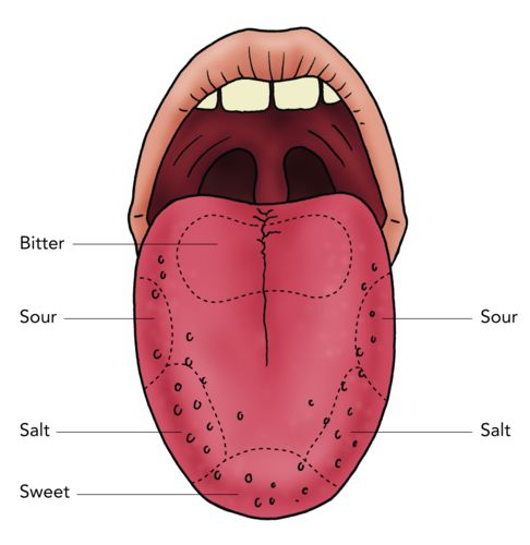 tongues diagram labled wiring diagram schematics grade 3 parts of tongue tongue labeling purposegames
