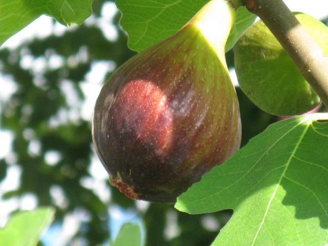 8月7日の誕生日の木は「イチジク(無花果、映日果)」です。 イチジクの歴史は古く、原産地に近いメソポタミアでは6千年以上前から栽培されていたことが知られています。 『旧約聖書』の創世記では「エデンの園で禁断の果実を食べたアダムとイヴは、はじめて自分が裸ということに気づき、イチジクの葉で体を覆った」と記されています。 日本には江戸時代初期、ペルシャから中国を経て、長崎に伝来しました。 「イチジク」の名前の由来は、1ヶ月で熟すまたは毎日1個ずつ熟す意の「一熟」が 変化して「いちじく」になったと言う説と中国での音訳語、「映日果」(インジークオ)が更に転音したものという説があります。 ちなみにイチジクは「実」では無くて「花」を食べています。厳密に言うと、花を覆っている袋(花嚢:かのう)を美味しくいただいているのです。イチジクを半分に割ると現れるつぶつぶとした赤いものが花で、イチジクの特徴的なプチプチとした食感の正体はこの花なのですね。