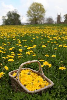 Collecting dandelion flowers for winemaking.   Apparently dandelion petals are sweetish - pick off from the bitter green parts. Photograph: John Wright