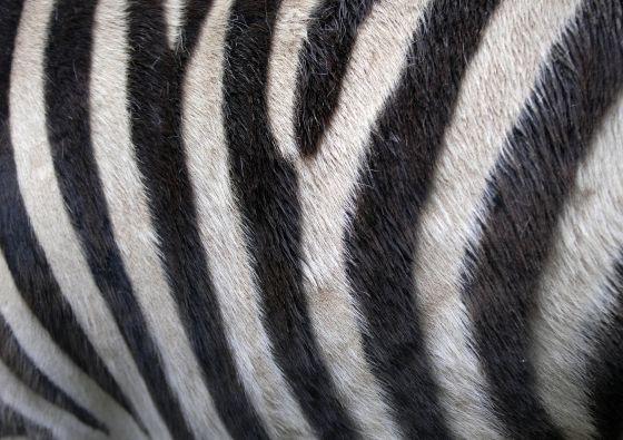 Zebra vacht
