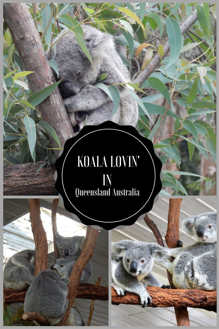 The best spots in Queensland, Australia to visit the Koalas!   https://in.pinterest.com/TheTinyTaster/the-tiny-taster/