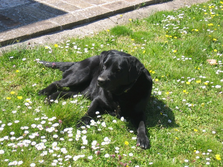 Our Labrador and truffle lover
