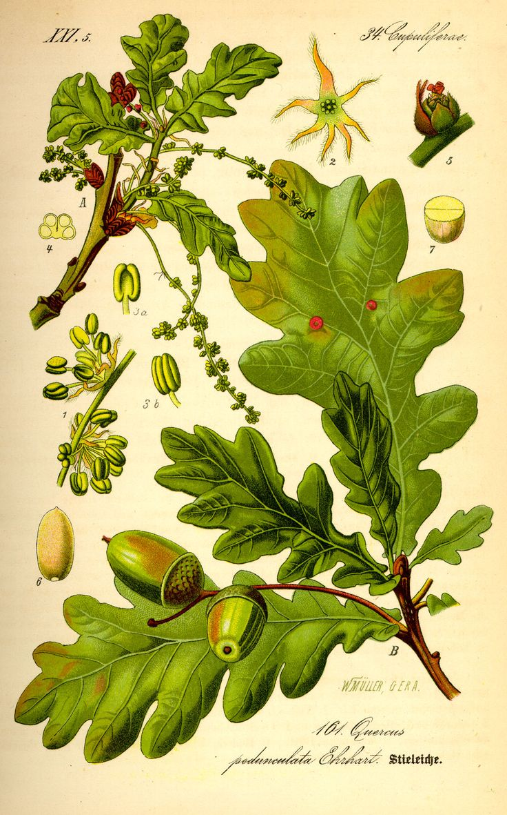 botanical illustration - oak tree (http://upload.wikimedia.org/wikipedia/commons/e/ef/Illustration_Quercus_robur0.jpg)