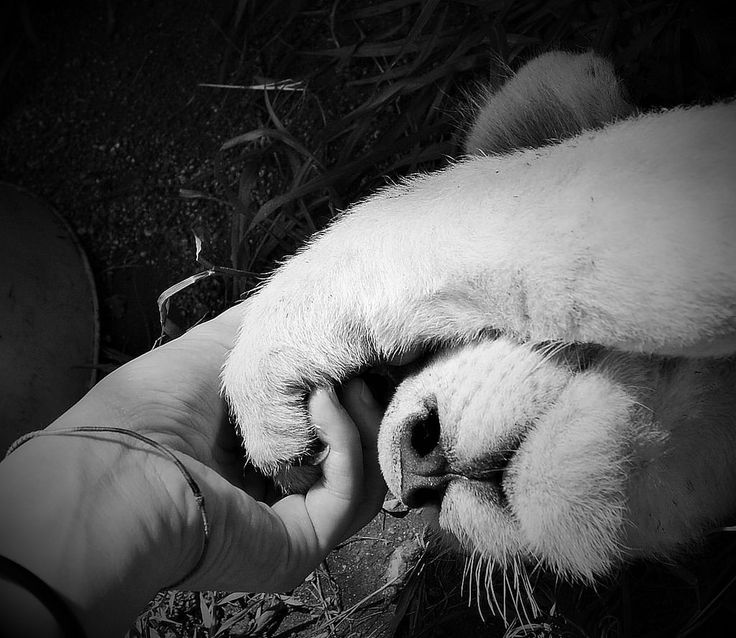 https://flic.kr/p/FQ2ps2 | I wanna hold your hand | Giulia #Bergonzoni #Photography #lion #paw #friendship #hand #hold #feelings #touch #love #cute #sweet #art