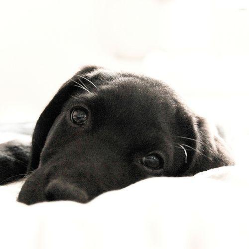 Black labrador puppy #LabradorRetriever