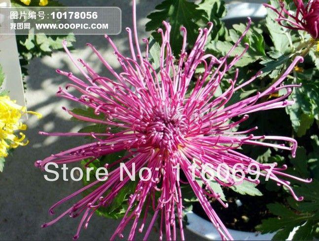 1000 семян / мешок фиолетовый хризантемы семена sementes семена цветов для домашнего casa жардин сад бонсай растения цветочные горшки горшки