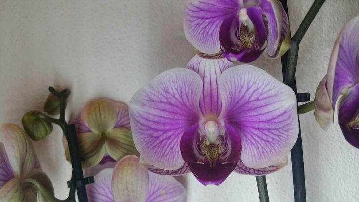 phalaenopsis 10.11.16