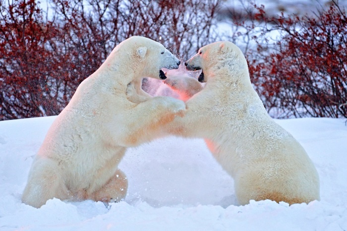 Ursos polares brigam feio e fotógrafo registra tudo de pertinho http://r7.com/VDHB