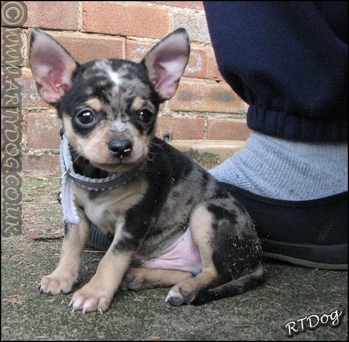 Blue Merle chihuahua. My next puppy will look like her :-)