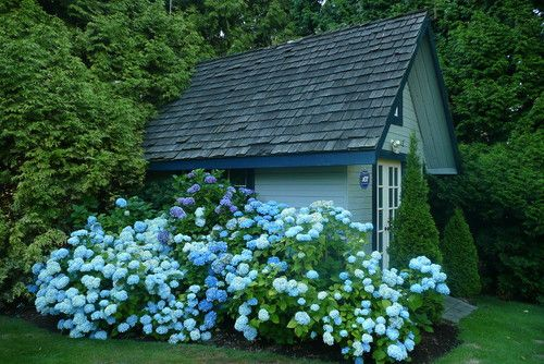A traditional garage/shed is blanketed with the blue blooms of hydrangeas...  (by Frenchflair traditional landscaping)