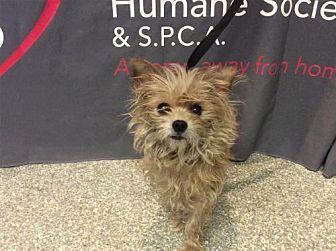 Yorkie, Yorkshire Terrier Dog for adoption in Pomona, California - I1281135