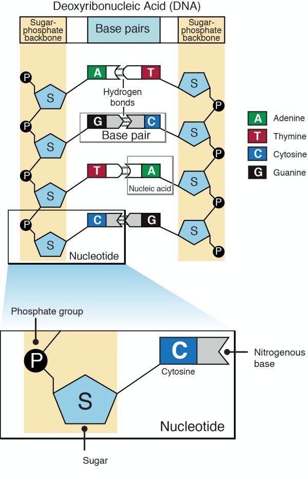 DNA to Proteins - Mrs. Bentzinger - Biology