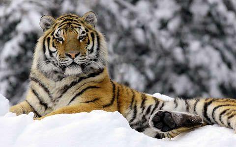 nagymacska tigris tél