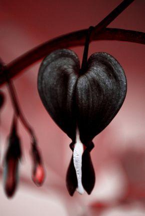 Tränendes Herz Samen  JETTUS SCHWARZ  sehr selten Schatten