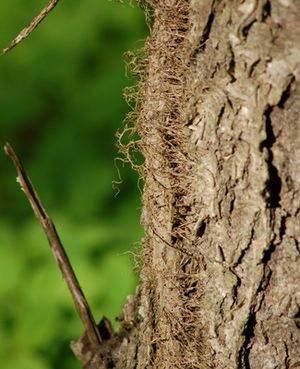 Pictures of Poison Ivy: Poison ivy's aerial roots are what allow it to scale trees and other objects.