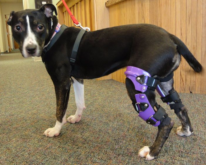 Dog With Acl Brace