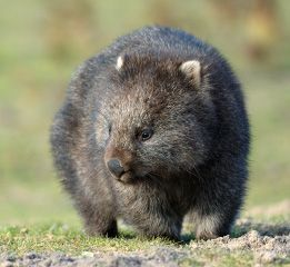 Did you know the common wombat's droppings are cube-shaped? Learn more common wombat facts at Animal Fact Guide!