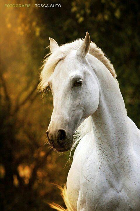 White arabian horse - photo#28