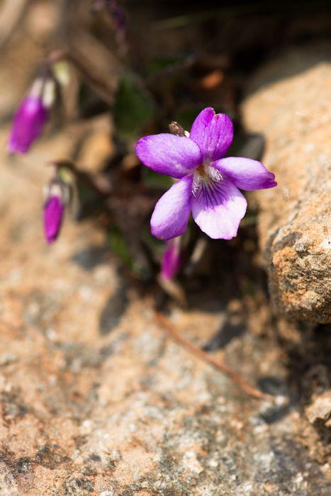 北海道アポイ岳には「アポイタチツボスミレ」が咲く。