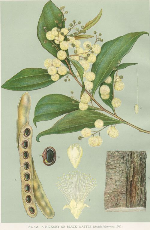 Acacia binervata: Two-veined Hickory.  artist: Edward Minchen from 'The Flowering Plants and Ferns of New South Wales - Part 5, 1896  by J H Maiden,   NSW Government Printing Office