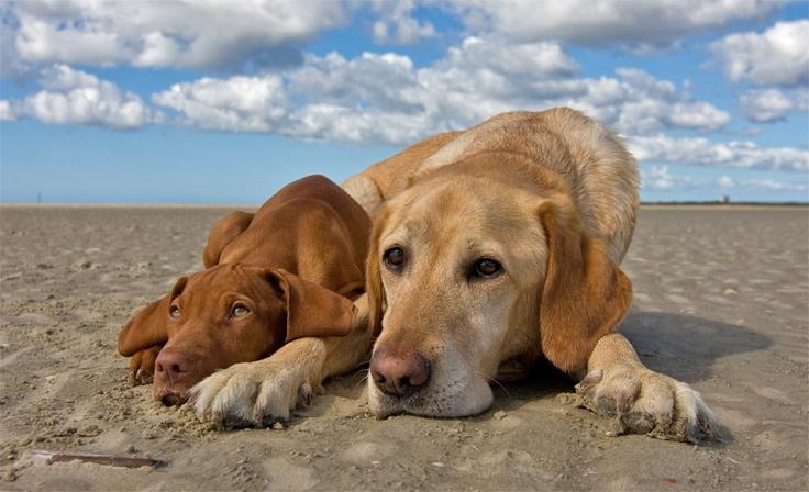 Pure vizsla on the left, vizsla/lab mix (my puppy) on the right