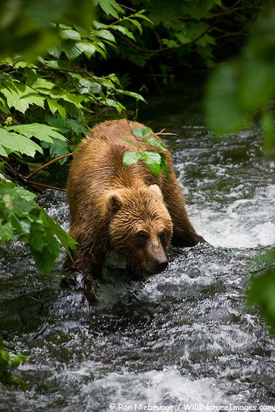 A Brown or Grizzly Bear fishing for salmon in Chugach  National Forest, Alaska