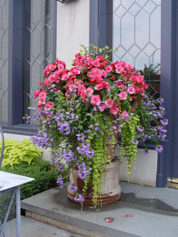 Container p;anting with begonias, scaveola, and creeping Jenny