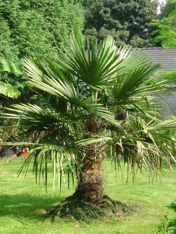 Trachycarpus fortunei (palmier de Chine ou à frange)