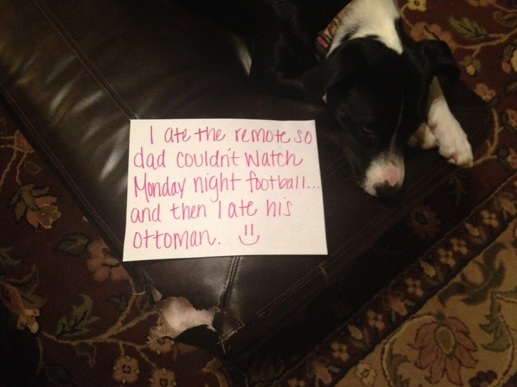 """I ate the remote so Dad couldn't watch Monday night football, and then I ate his ottoman."" ~ Dog Shaming shame - Pit Bull"