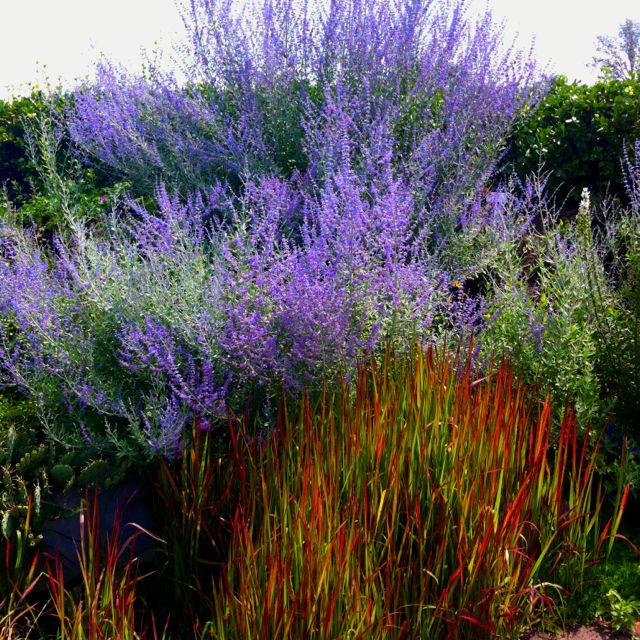Russian sage paired with japanese blood grass toronto for Outdoor ornamental grasses
