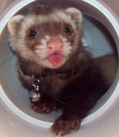 ♥ Small Pets ♥  Cute ferret                                                                                                                                                                                 More