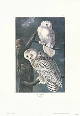 'Snowy Owl'  lithograph print by James Audubon via Charting Nature