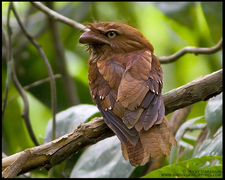 Philippine Frogmouth: Adventure Philippines, Frogmouth Batrachostomus, Lowland Forests, Philippines Frogmouth H, Frogmouth Birds, Nocturn Birds, Angry Birds, Philippines Archipelago, Birds Adventure