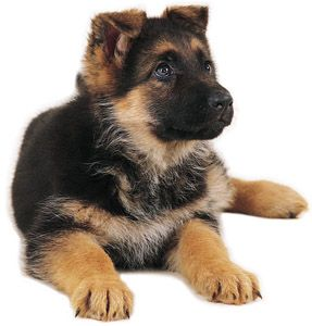 German shepherd puppies are the cutest!