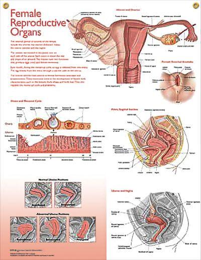Animated Physiology Of Female Orgasm-9270