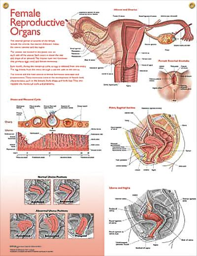 25+ best ideas about female reproductive system functions on, Muscles