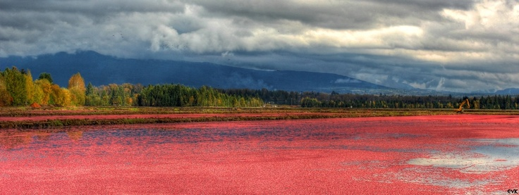 Cranberry fields near Derby Reach! #langley #photography