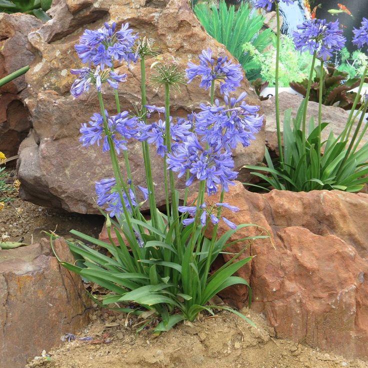 Agapanthus Bingo Blue bred and originating from CND Nursery