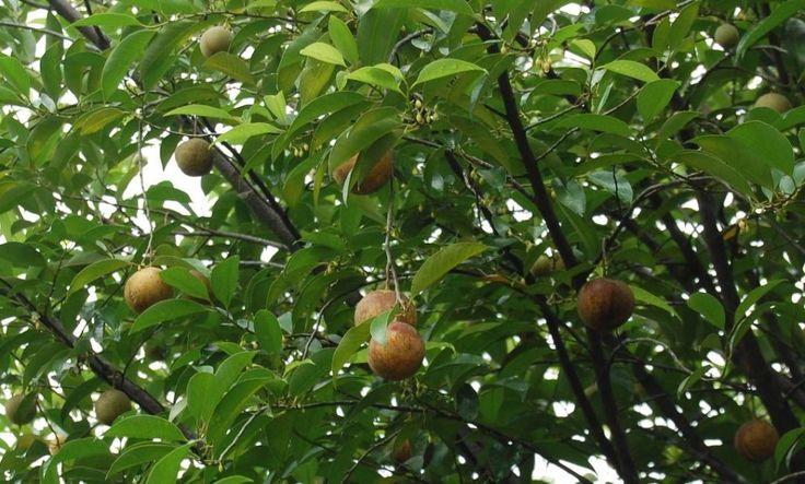 Nutmeg tree, Myristica fragrans, Myristicaceae
