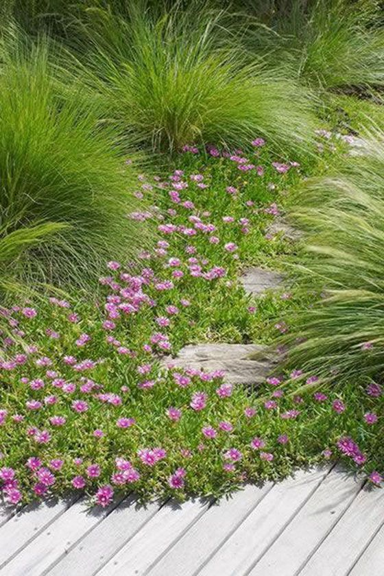 'Tanika' does well in open soils and as such is a good companion for Carpobrotus glaucescens (Pigface) on the coast. Check out our description of 'Tanika' bluedale.com.au  Buy online bluedaleplantsonline.com.au