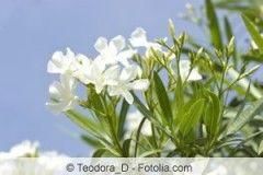 Oleander bekommt regelmäßiges Düngen sehr gut