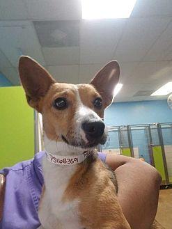 Dumfries, VA - Mixed Breed (Medium). Meet Benji, a dog for adoption. http://www.adoptapet.com/pet/19215666-dumfries-virginia-mixed-breed-medium